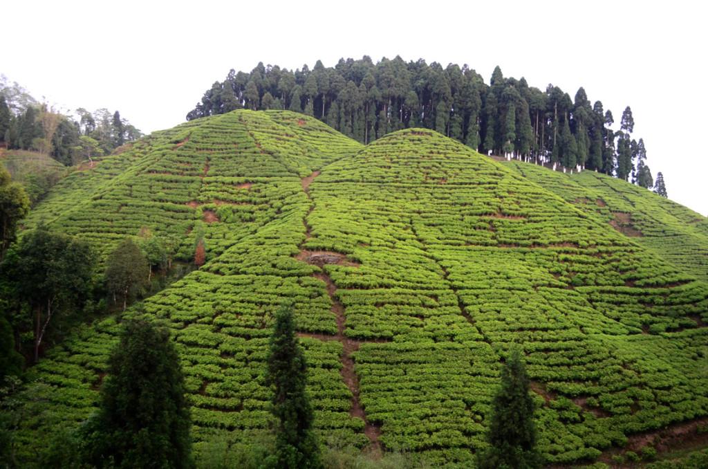 मिरिक से दार्जिलिंग तक सारे रास्ते चाय के बागान ही मन को लुभाते रहे।